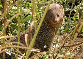 baby mongoose by kumarvijay1708