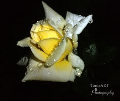 Yellow Rose by TaniaART