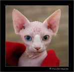 Odd-Eyed Sphynx Kitten by substar