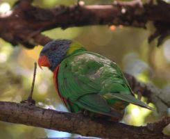 Lorikeet by Karak-Crow