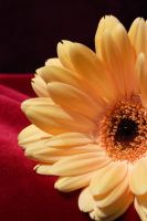 Gerber daisy on red by ELaiNes-DarkRoom