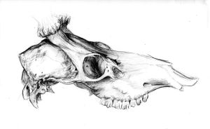 Skull of a Stag by Counterdraw