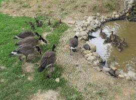 Orphaned Goslings and Ducklings 3 by Windthin