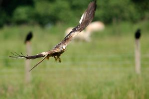 Red Kite at Gigrin by noelholland