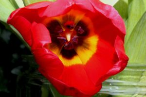 Red tulip by harlia