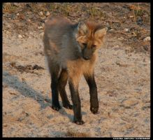 Maned Wolf Pup - Play No3 by leopatra-lionfur