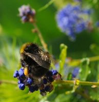 Busy Bee 9 by Forestina-Fotos