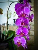 Orchids by apocalic