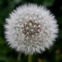 Pusteblume by Knoetchen