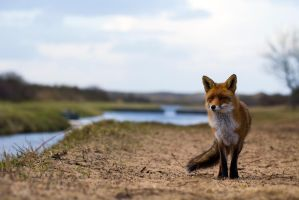 Fox in the landscape by AngelaLouwe