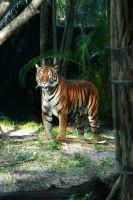 LE TIGRE by alan1828