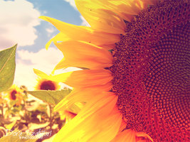 sunflower in detail by szdora91