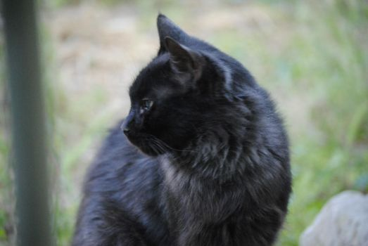 Black Cat 1.1 by mocking-turtle-stock