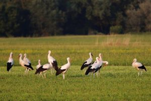 Storks on the meadow by luka567