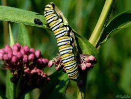 Monarch Caterpillar by MacroMagnificent