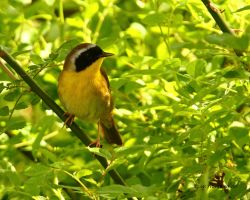 Comon Yellow Throat 2012 by natureguy