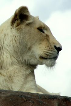 White Lioness by purplepolarbear