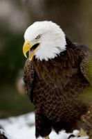 Bald Eagle 9 by Art-Photo