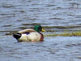 Mallard Swimming by wolfwings1