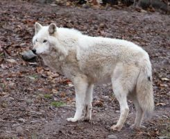 White Wolf Stock 21 by HOTNStock