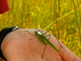 Orthoptera by PDWeasel
