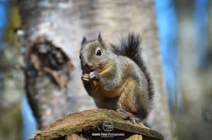 The Douglas Squirrel by sweetcivic