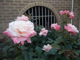 Roses by ColourChromaticism