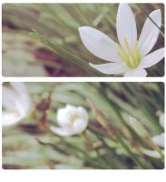 blossom by dyefish