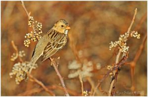 Harris's Sparrow by Ryser915