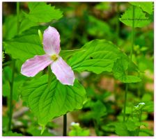 Pink Trillium by GlassHouse-1