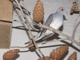 A Male Diamond Dove by Faunamelitensis