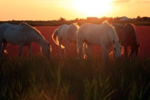 Camargue horses by Krislinx
