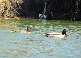 Mallards And A Plastic Cup by LovingLivingLife