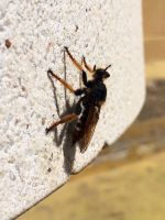 Robber fly 4/4 by SoularWolf4