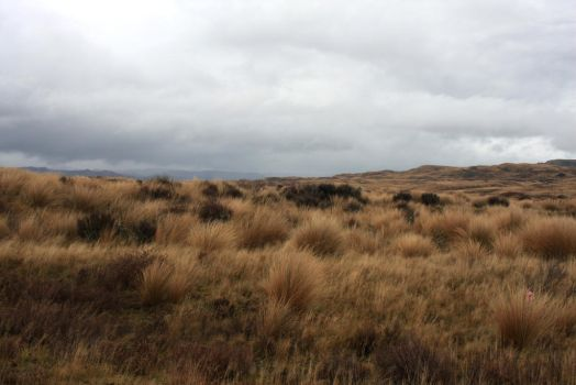 Tussock land stock by CathleenTarawhiti