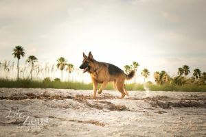 German Shepherd Dog by TKdesign10