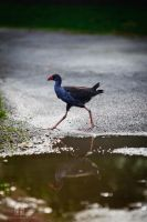 The Goofy Pukeko by EOSthusiast