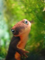 California newt by SanveanNils