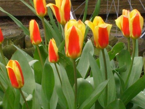 tulips red and yellow by ingeline-art