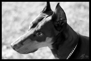 Frosty the Doberman BW by EdwinLMunt