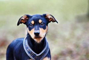 Australian Kelpie puppy by blackmaster111