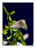 Cuttlefish by Itheone