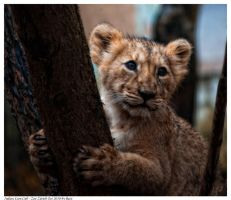 Indian Lion Cub 4 by Reto