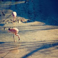 Flamingo by jonniedee