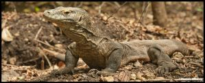 Komodo Dragon on nest by partoftime