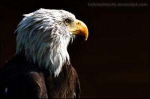 Bald Eagle by Tiefenschaerfe