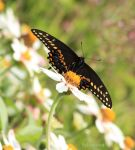 Swallowtail Stare Down by Bella-Kunst