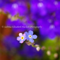 Forgotten and Lost in Lobelia by Hitomii