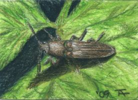 Click Beetle - ACEO by Orchid-Black