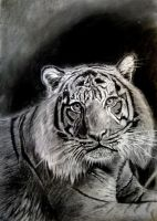 tiger drawing by sepultur60